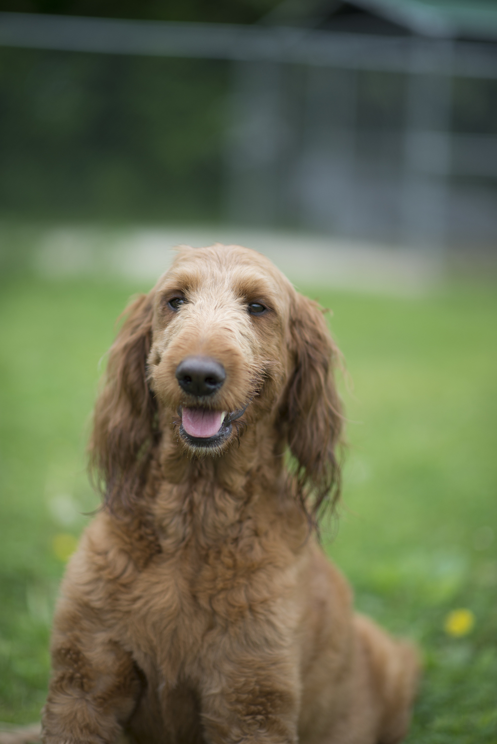 Molly, F1b red standard goldendoodle