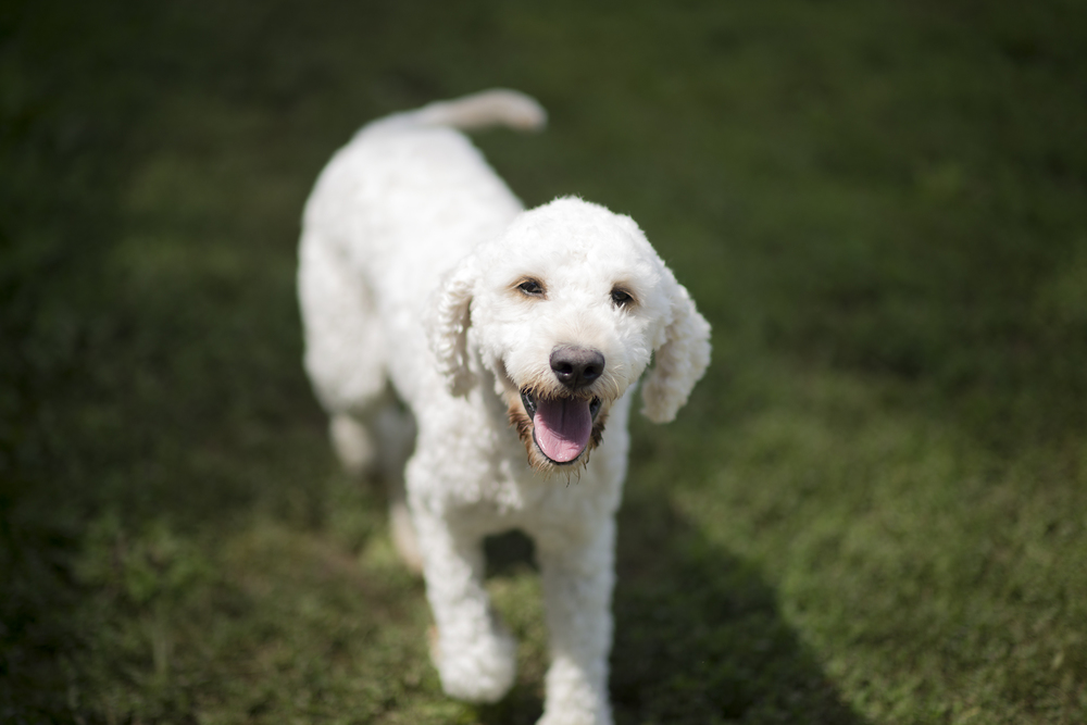 Dakota, F1 standard goldendoodle, white