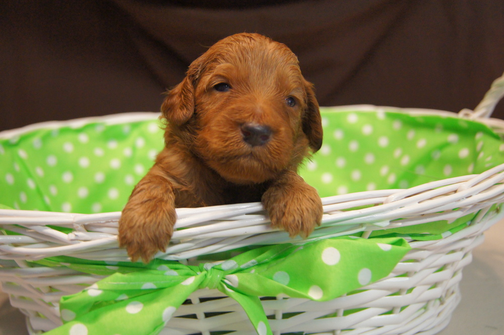 Ginger and Tank have the most amazing RED mini goldendoodles available for sale.