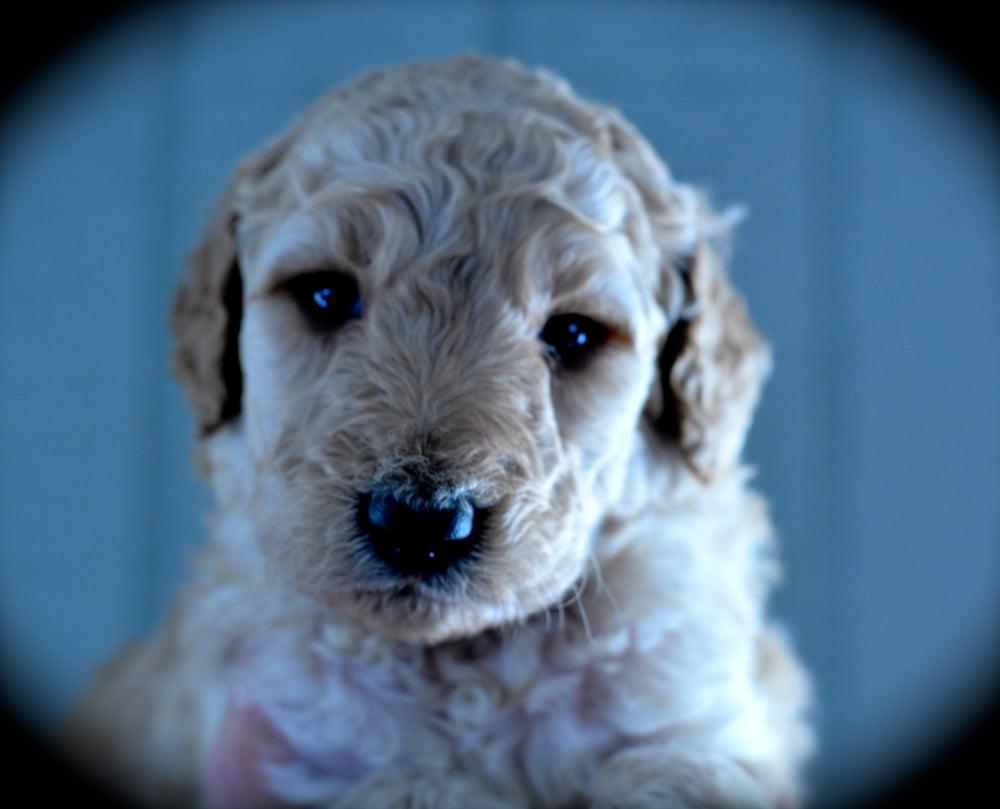 Saydee puppy - F1b Standard Goldendoodle