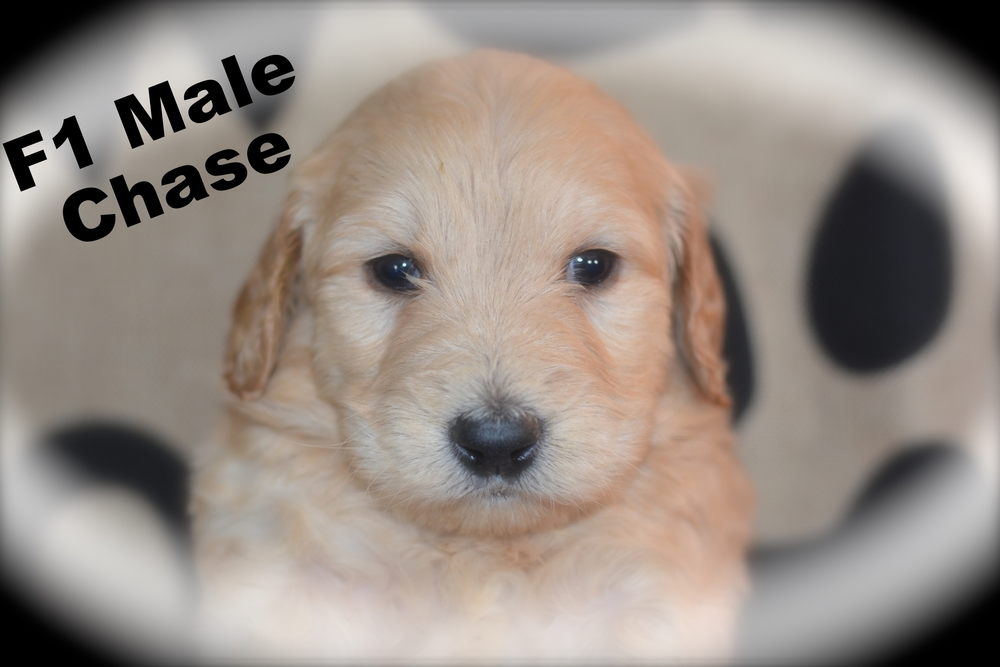 F1 Standard Males Certified Golden Doodle Puppies