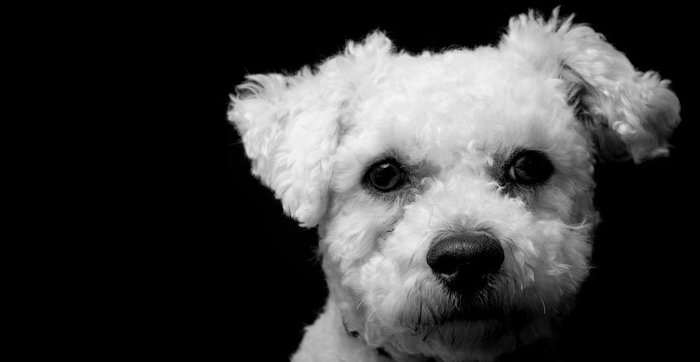 Bertie, monochrome dog portrait, white fluffy dog