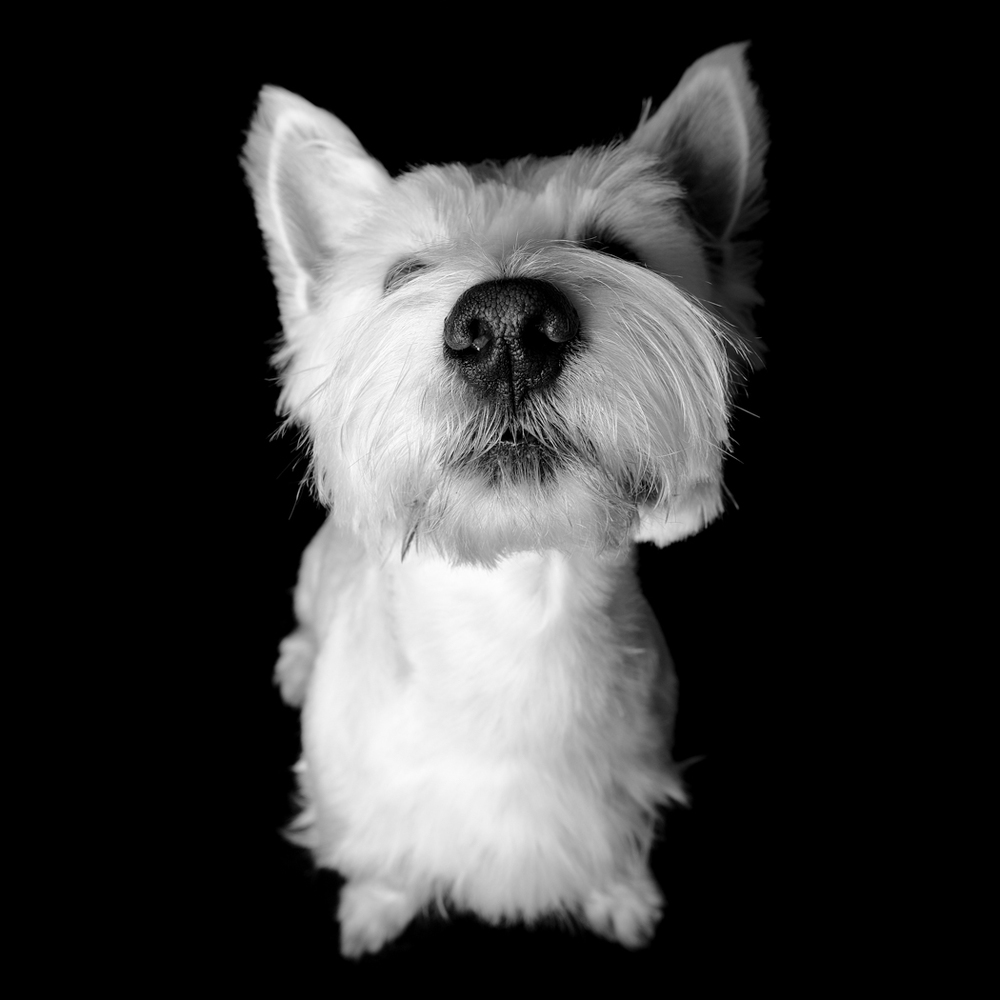 Close up of Elvis the Westie