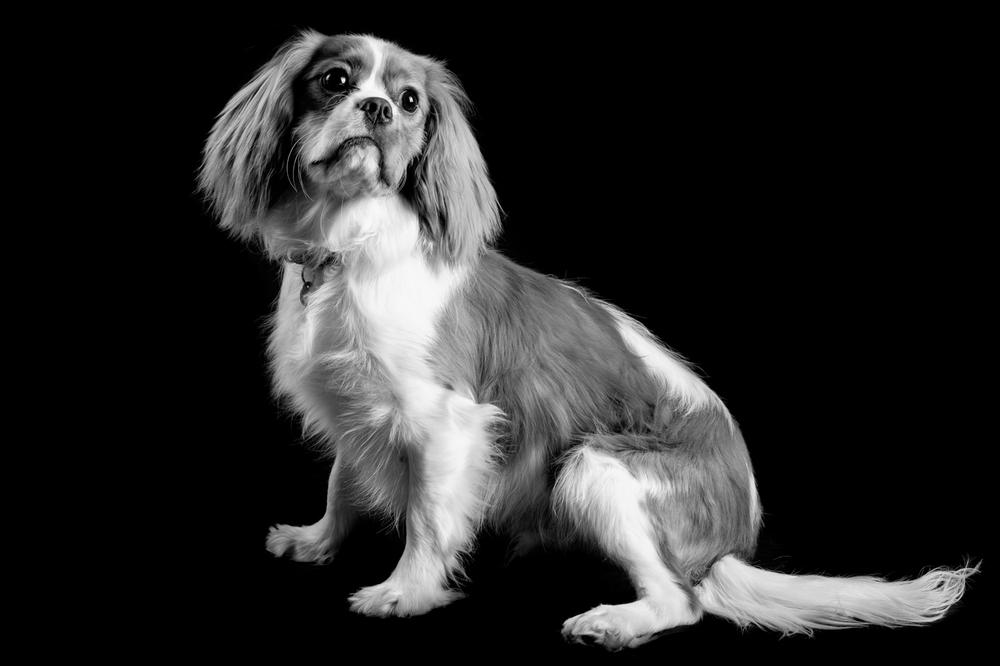 Cavalier King Charles Spaniel full body Portrait June2016