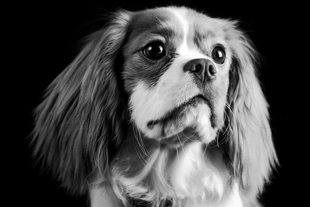 Cavalier King Charles Spaniel Black and White Face Portrait June2016