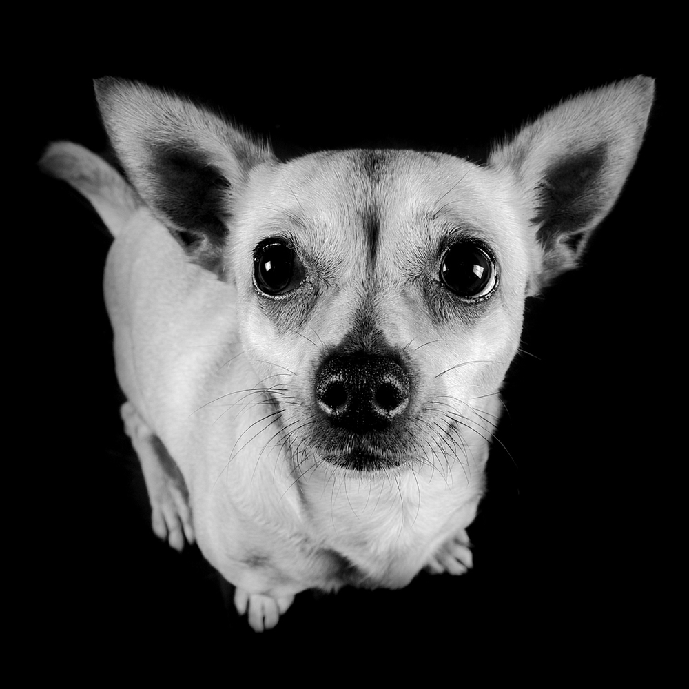 Chihuahua Cross Jack Russell (Jack Chi) close up face dog portrait in black and white with body