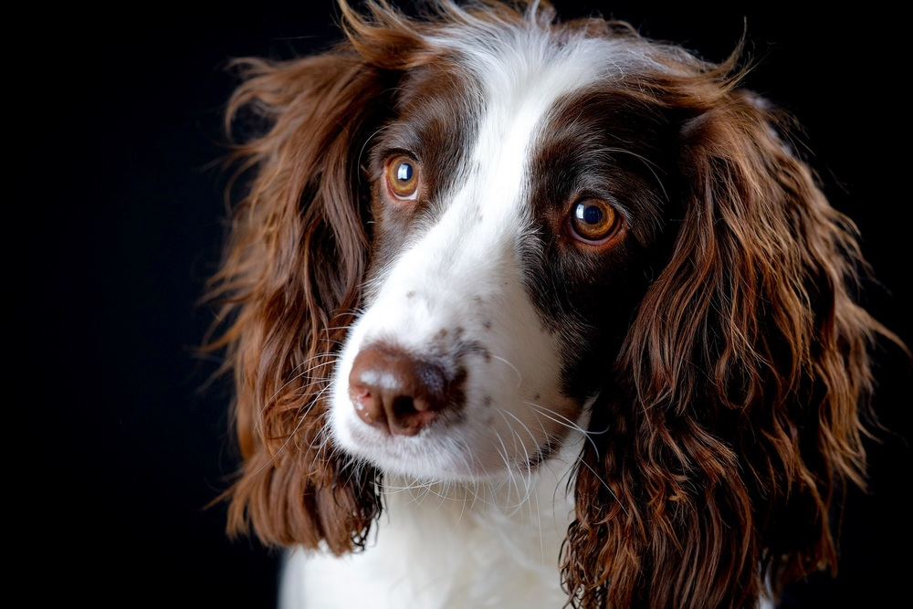 Milo - brown and white Springer Spaniel face portrait against a black background in colour.