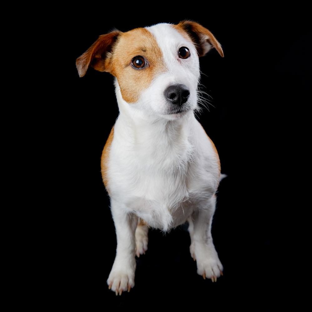 Jess - white and tan Jack Russell sat facing forward.