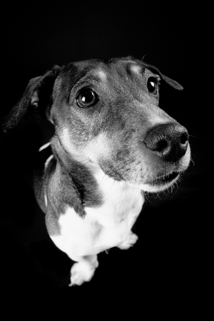 Holly - Jack Russell wide angle close up of face and body while sat down in black and white