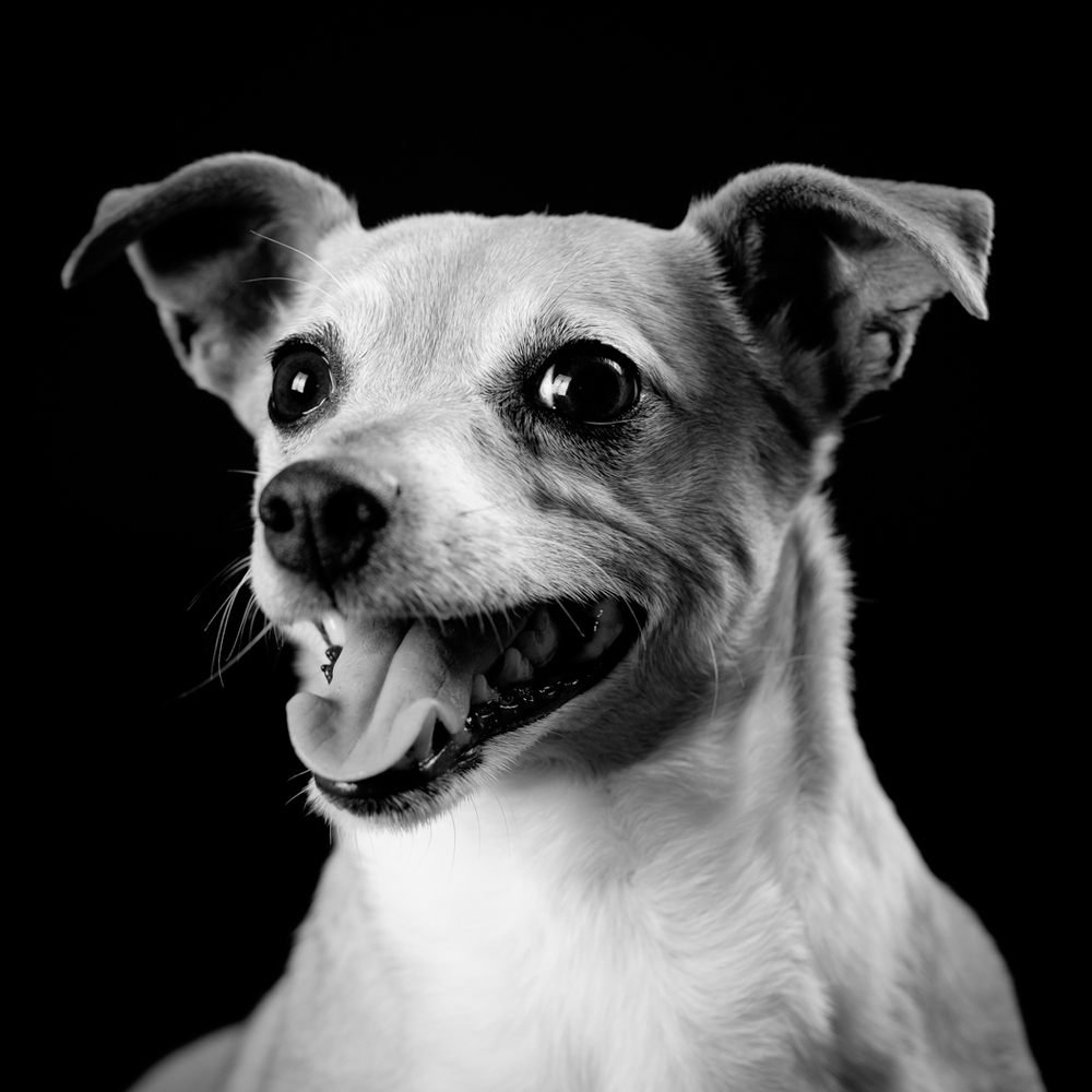 Lucy - Jack Chi face portrait with mouth open in black and white