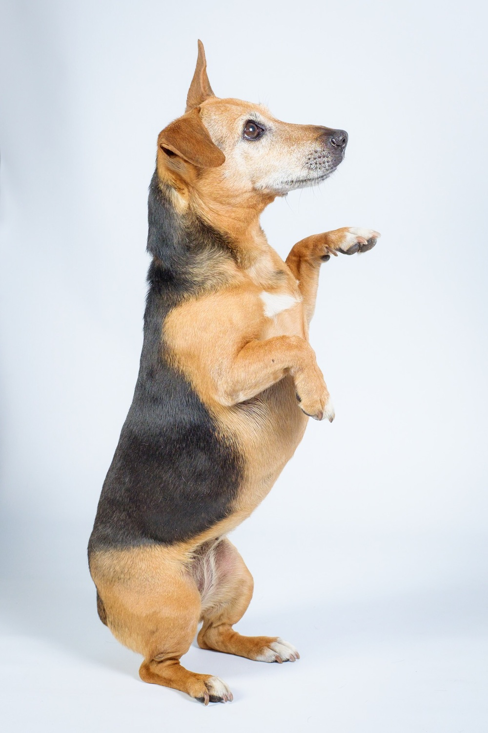 Black white and tanned Jack Russell on back legs begging with 1 paw up with white background in colour