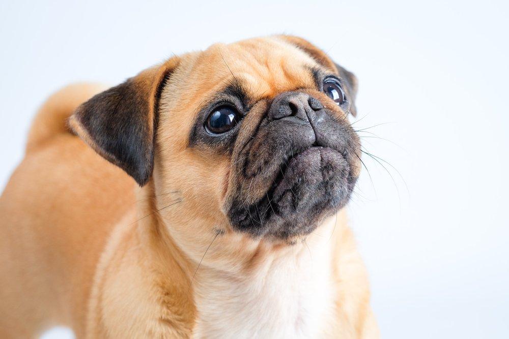 Pugsley the Pug dog portrait
