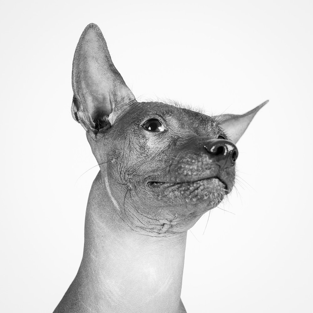 Ted the Mexican Hairless dog portrait - Ruffles Dog Daycare Centre Nottingham