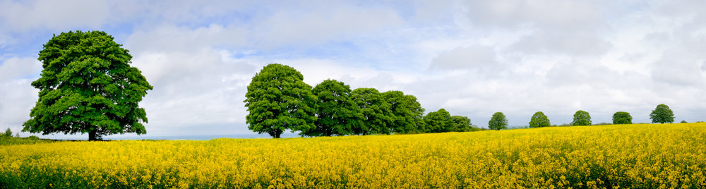 Fields of Gold - panoramic landscape of a rapeseed field lined with trees on a summers day