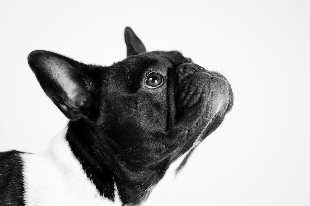 French Bull Dog Portrait.jpg