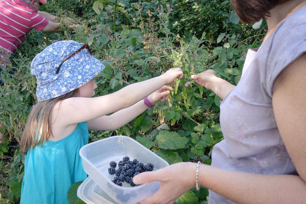 Blackberry picking with the Hirst family in Hucknall, Nottingham.