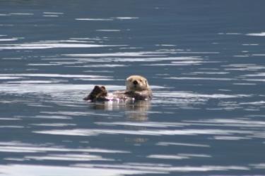 Sea Otter.jpg