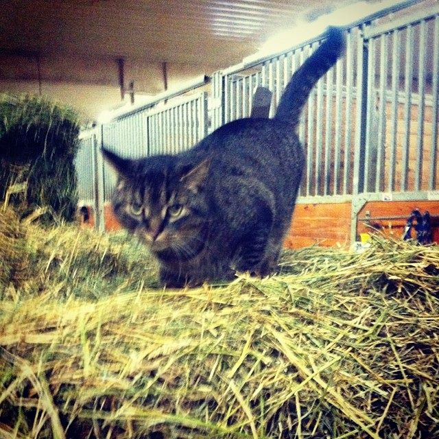Squeaks, a famous barn cat from The University of Findlay displays how he expertly helps with morning feedings.