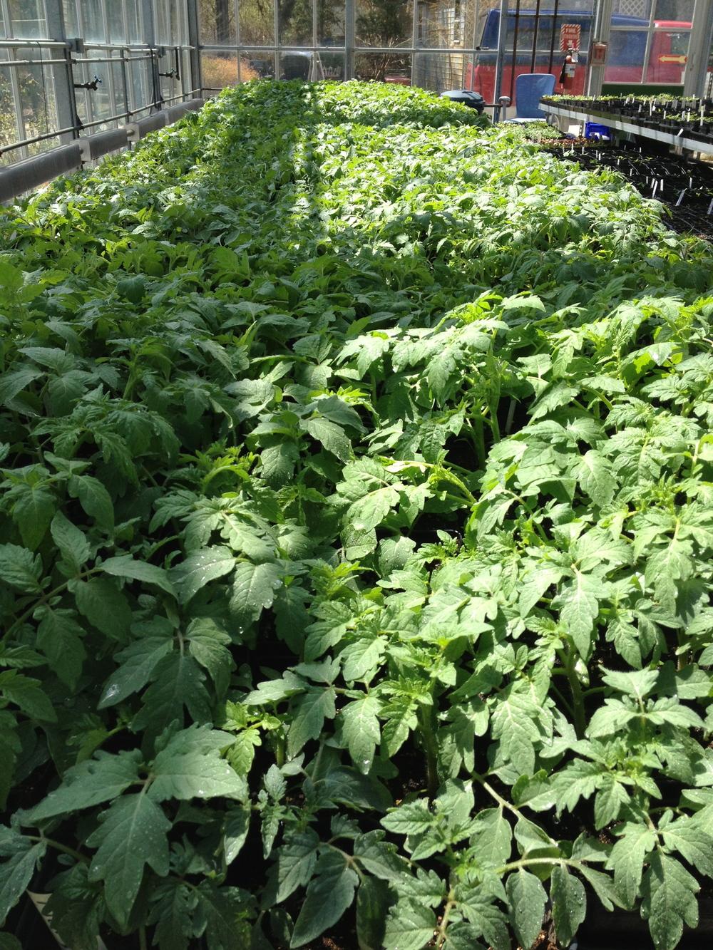 tomatoplants.jpg