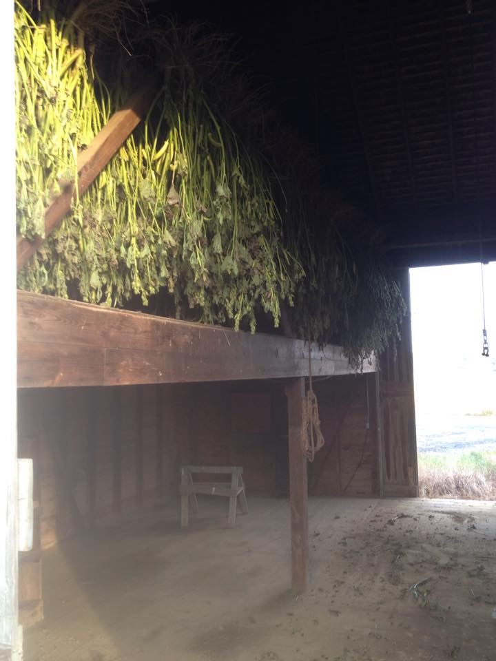 Drying in the barn