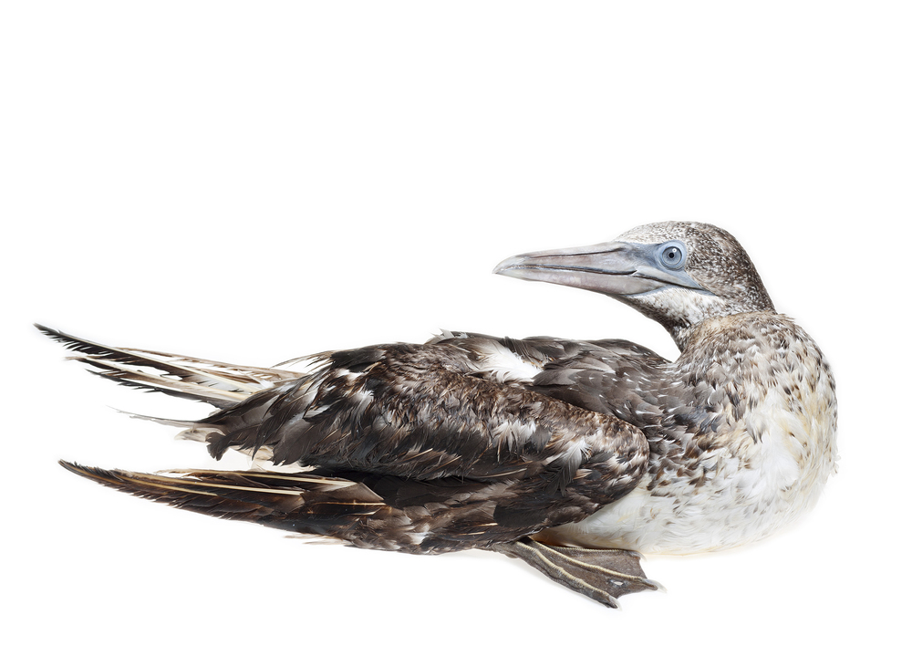 Post BP Gulf Oil spill: Oiled Northern Gannet, Dauphin Island, AL. © Stephen Wilkes