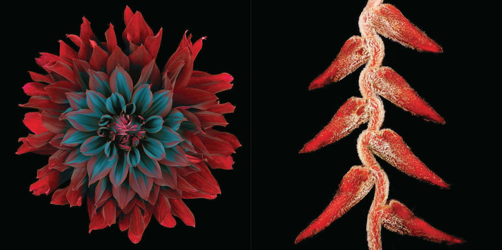 "Left: Dahlia ""Rip City"" #57, 2002 Right: Lobster claw (Heliconia rostrata) #1, 2002  © Howard Schatz and Beverly Ornstein"