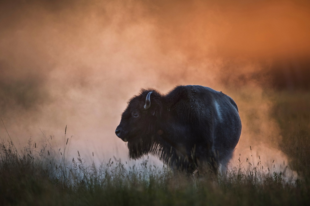 A buffalo at sunset in Rock County, Nebraska. © Bill Frakes/Straw Hat Visuals