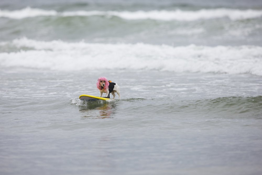 Dog surfing seems like a fun idea for a dog owner. That's not always the case for the dog. © Sol Neelman