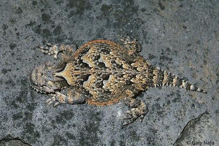 horned lizard  phrynosoma platyrhinos