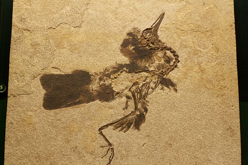 Unidentified bird species from the Fossil Butte Member in southwestern Wyoming (Green River Shale), USA, Field Museum of Natural History, Chicago, Illinois, by Matt Mechtley from Tempe, Arizona.