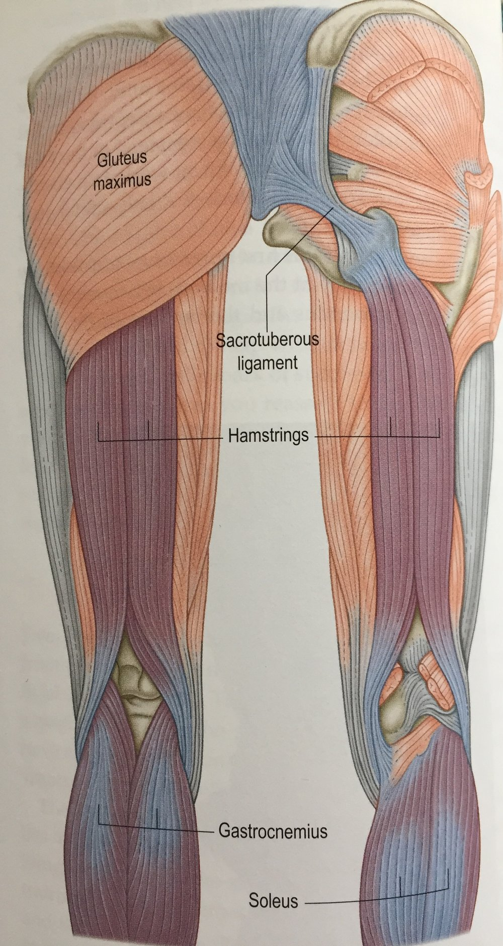 Superficial back line hamstrings.jpg