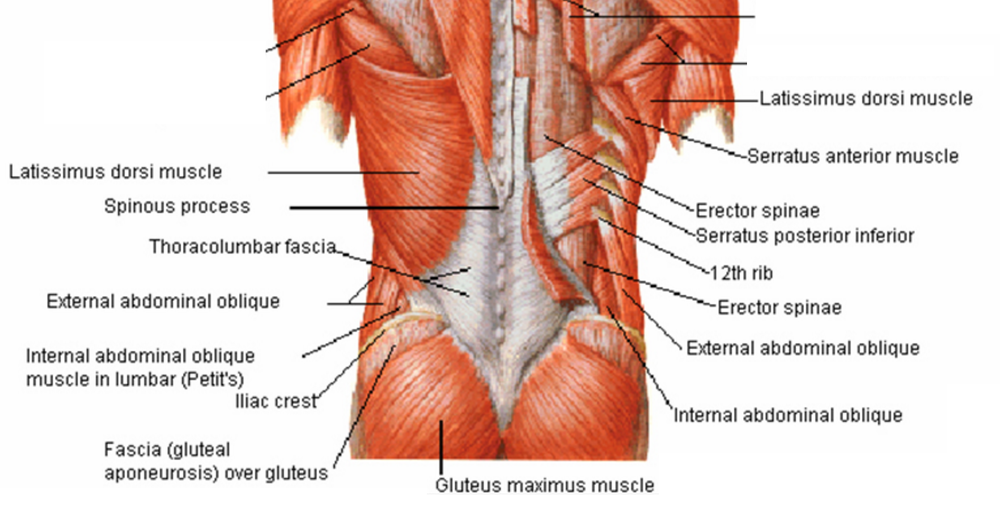 lower-back muscles simple.png