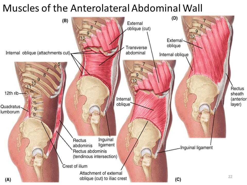 Muscles+of+the+Anterolateral+Abdominal+Wall.jpg