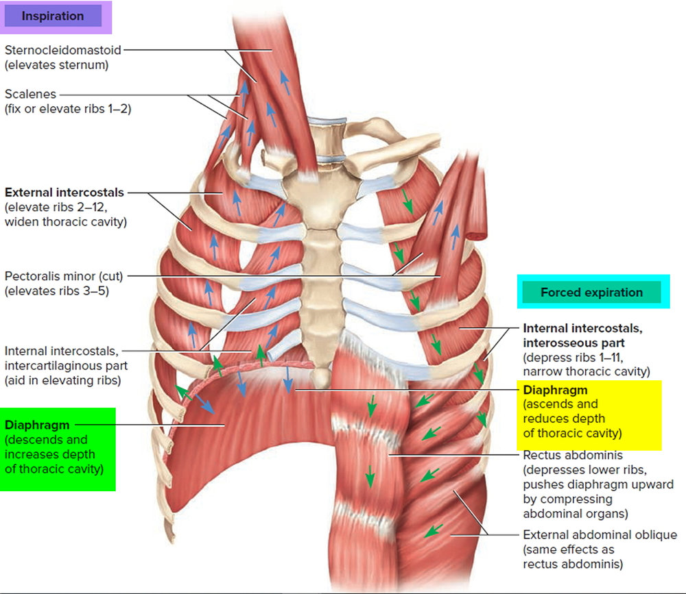 The breath & its muscles