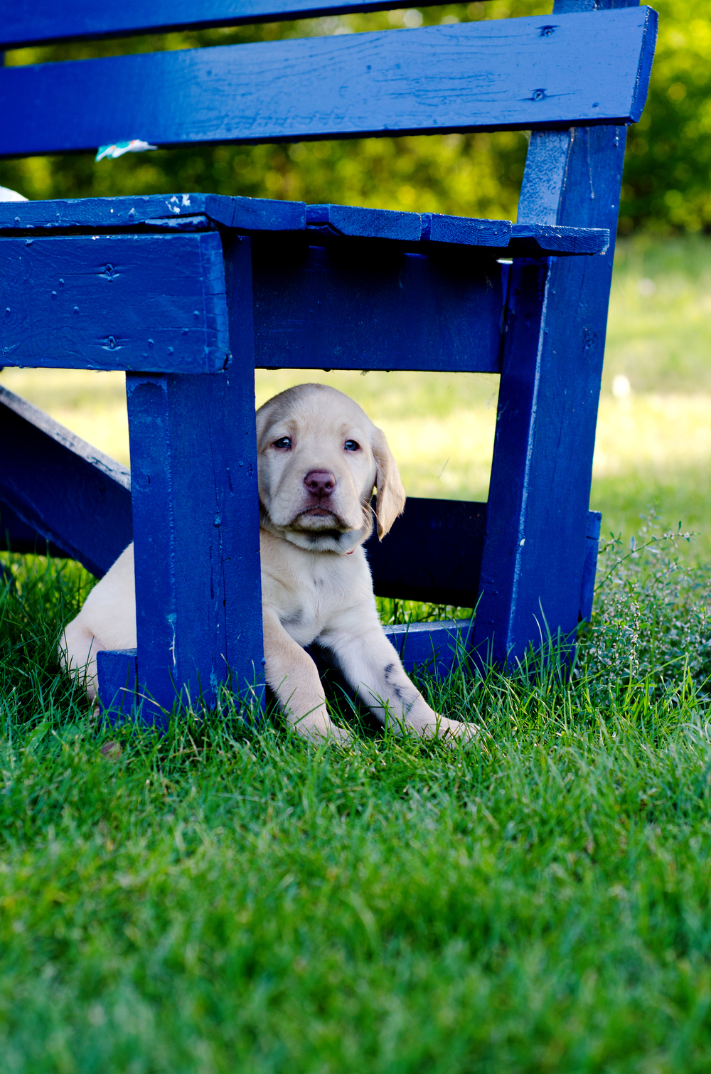 yellow lab puppy sitting by bench - pioneer park fairbanks ak