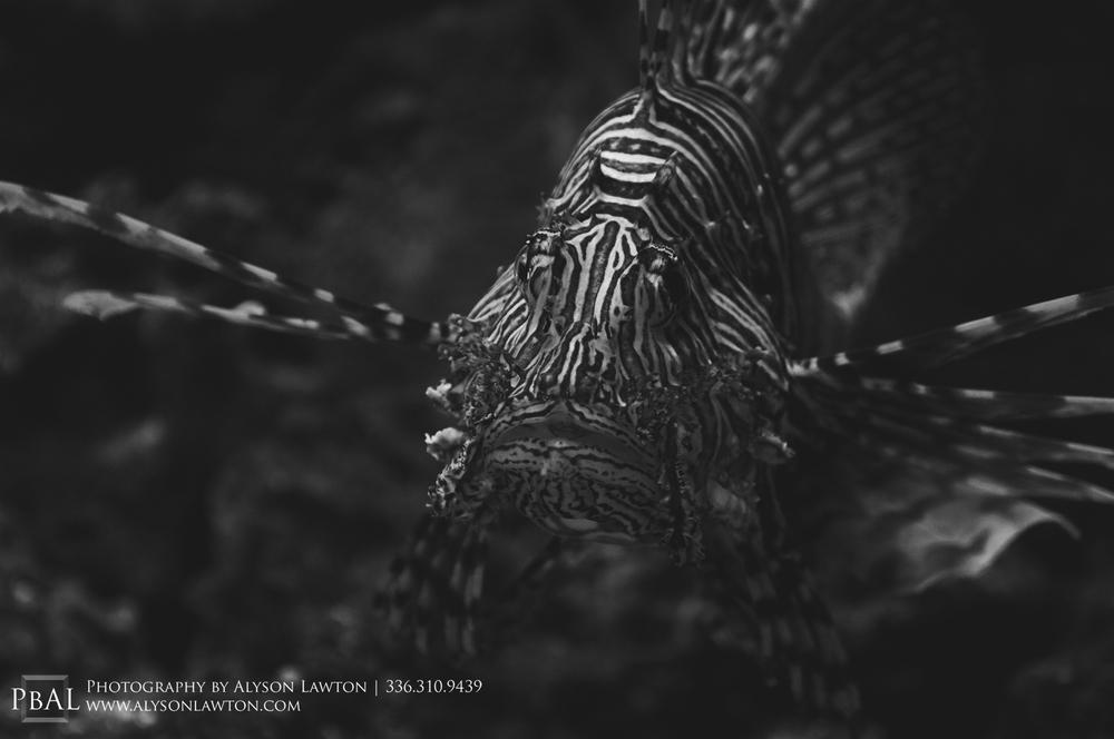 Portrait of a lion fish Winston Salem Wedding, Portrait and Event Photographer | Photography by Alyson Lawton