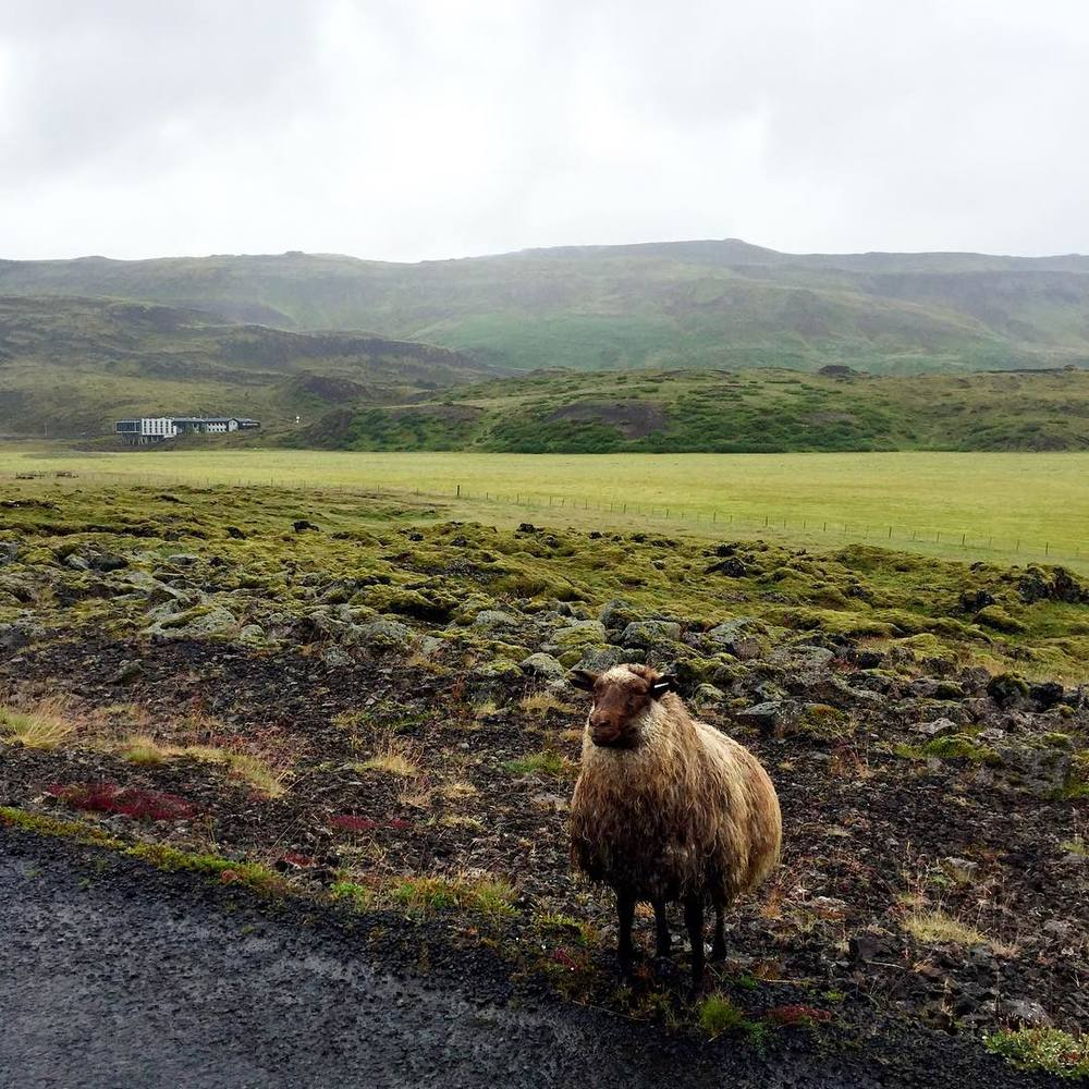 Iceland is known for its amazing sheep and wool products.