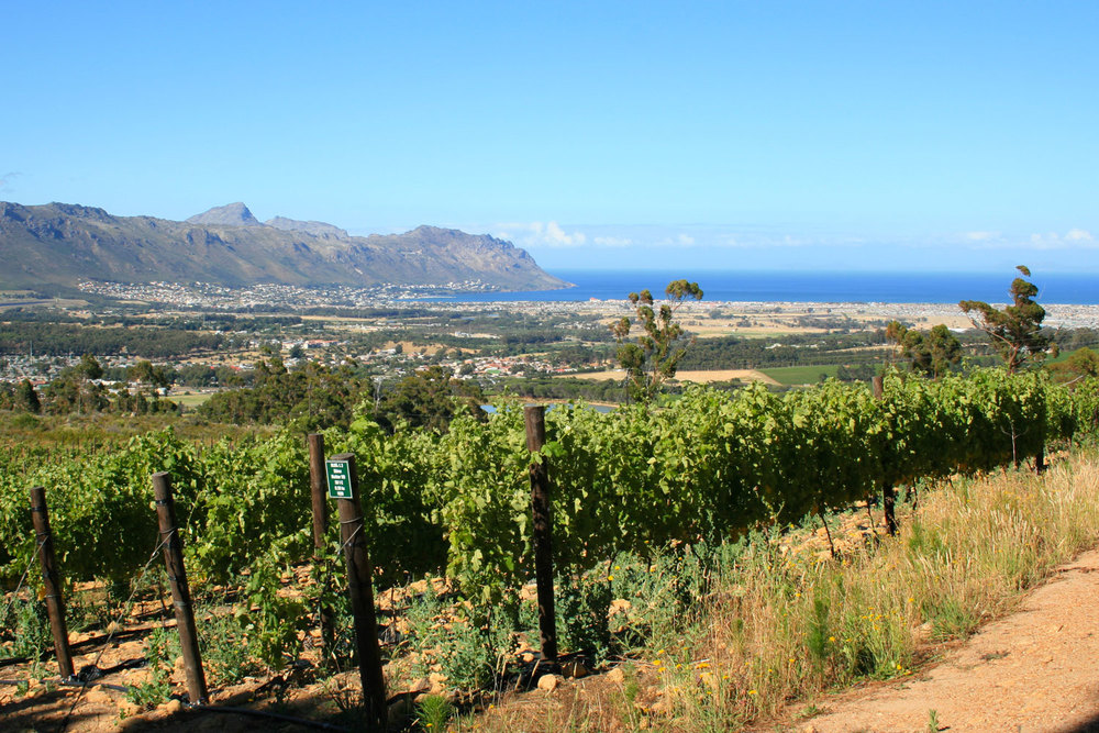 The Shiraz vines overlooking False Bay