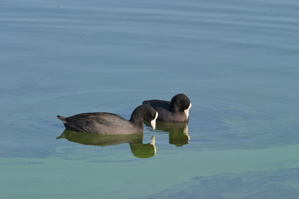 Hawaiian Coot