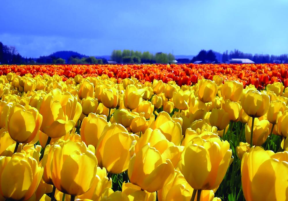 Dutch Tulip Fields.jpg