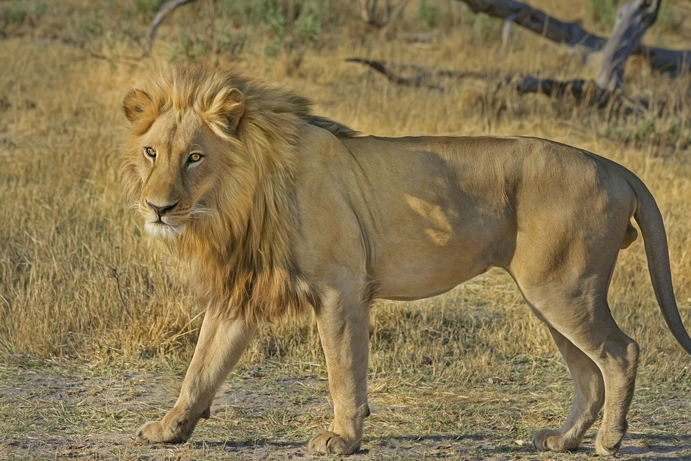 lion-515030_1920.jpg