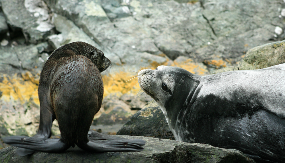 Weddell and Fur Seal