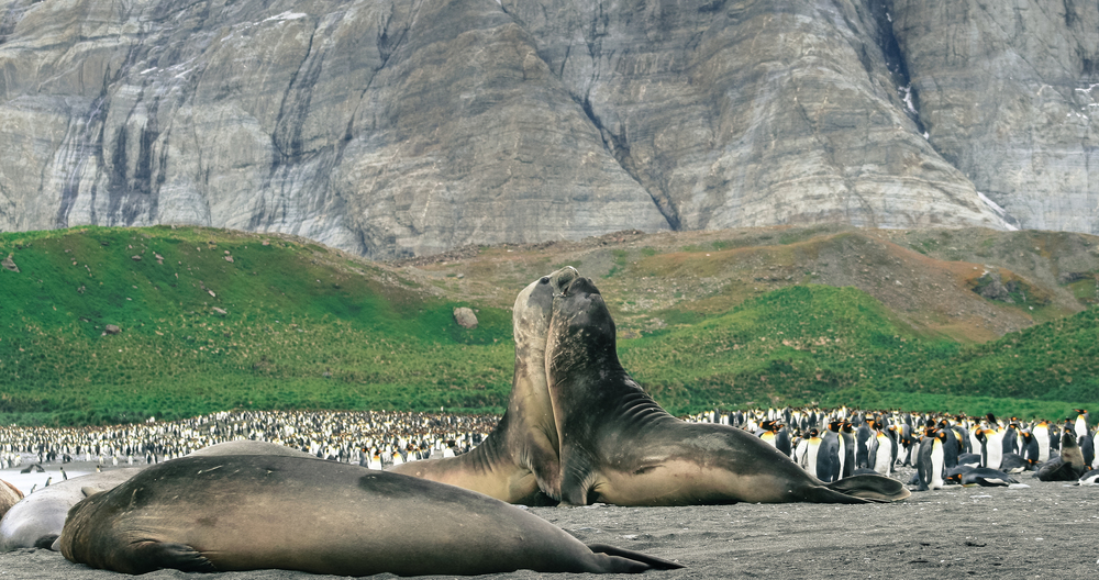 Fighting Elephant Seals