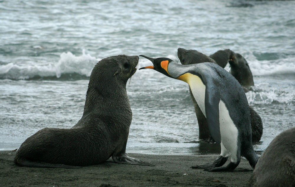 King Penguin and Fur Seal