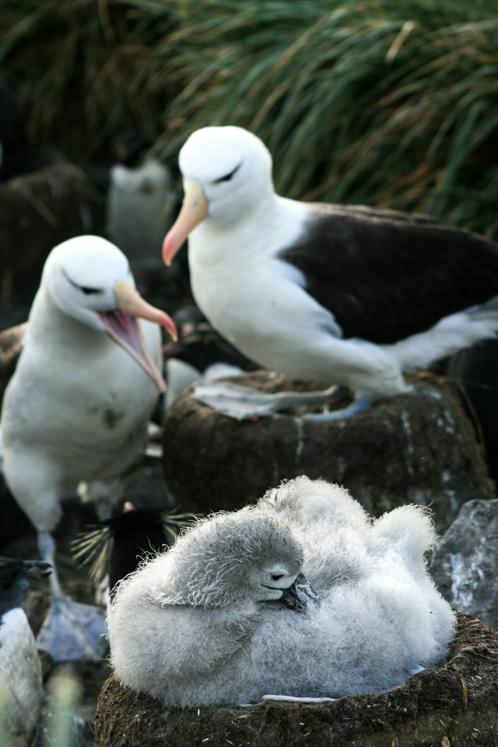 Black-browed Albatross Family