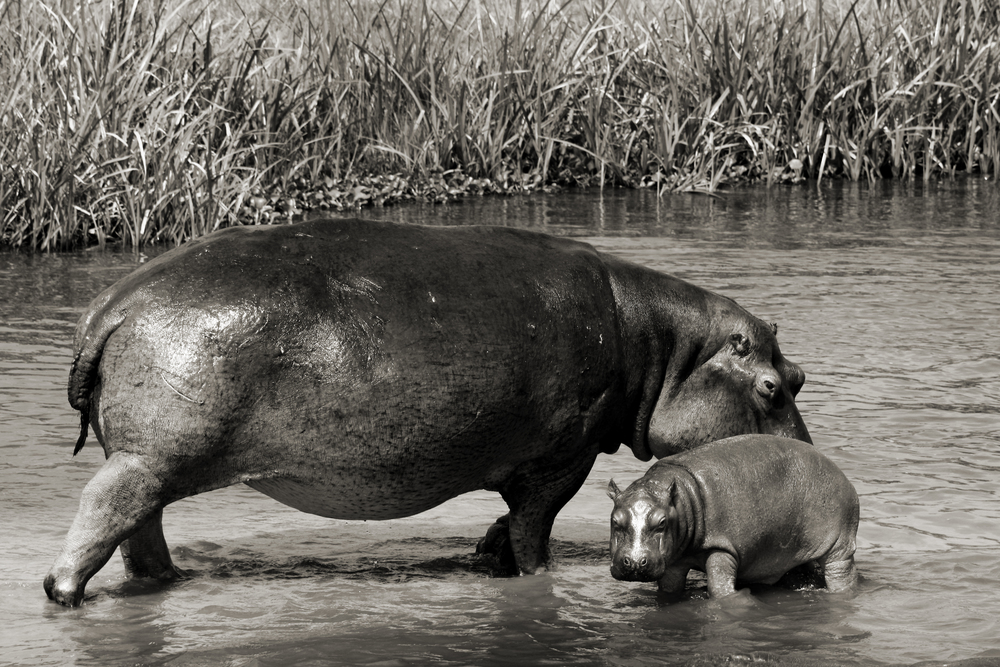 Mother and Baby Hippopotamus
