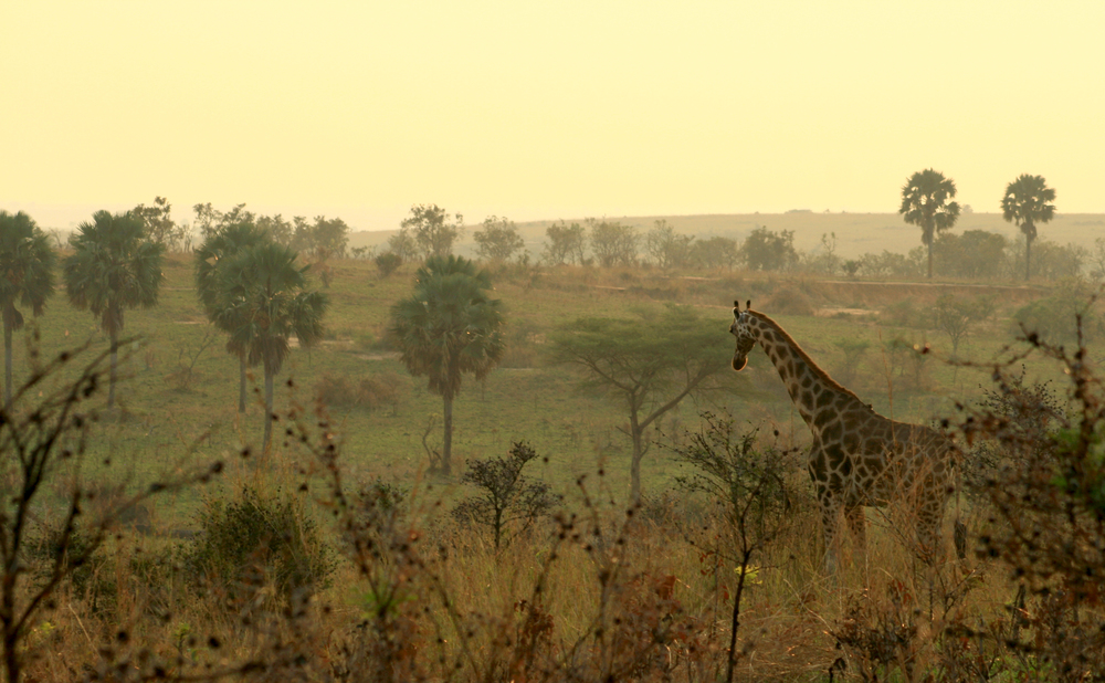 Giraffe at Dawn
