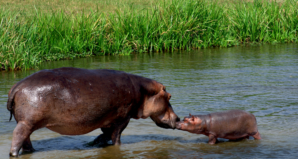 Kissing Hippopotamus