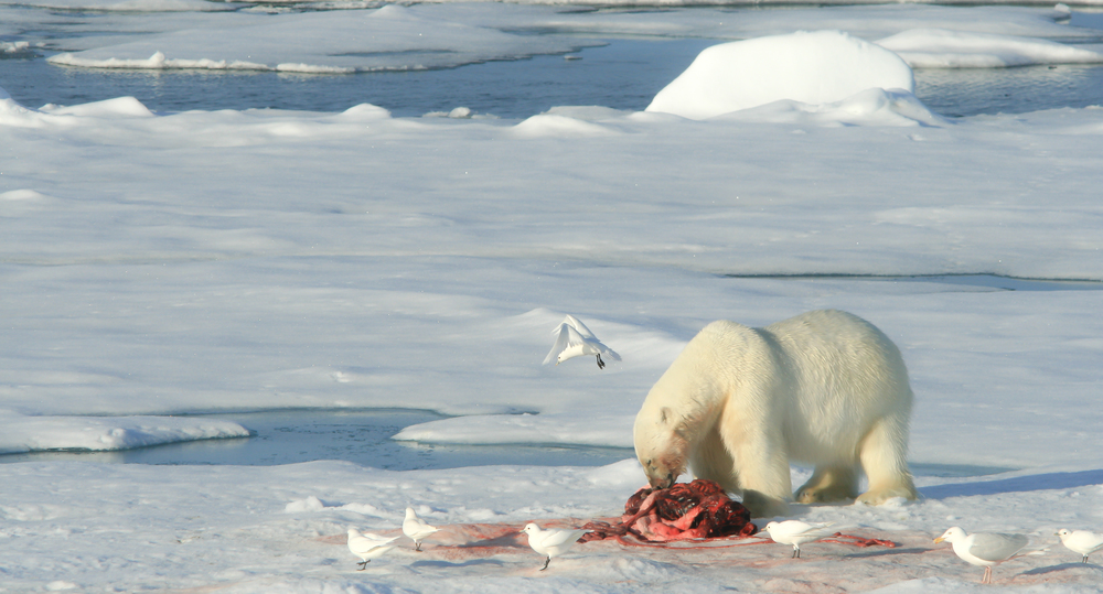 Polar Bear Eating a Seal