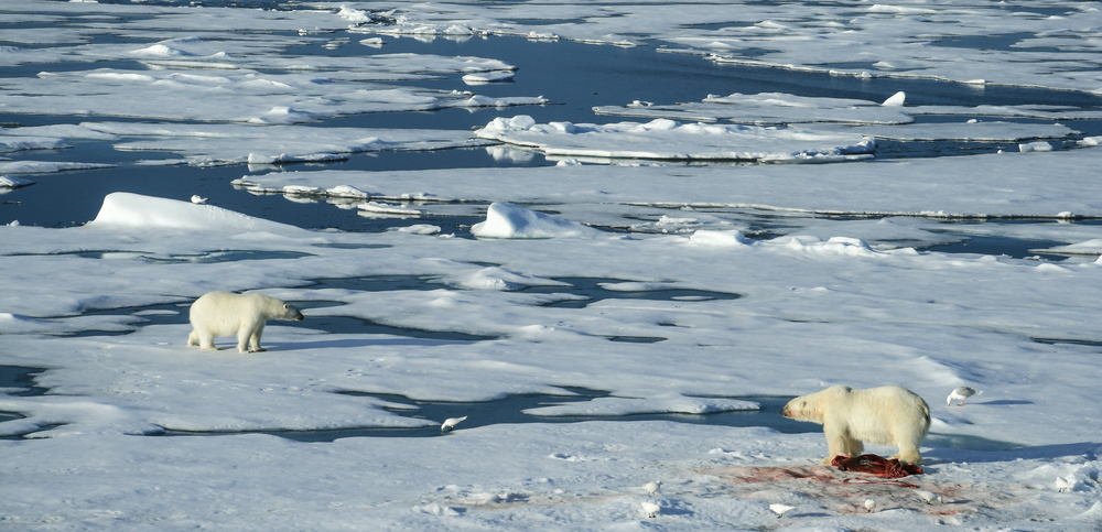 Polar Bear Defending a Seal Carcass, Arctic Circle